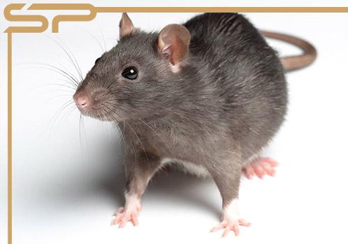 سمپاشی موش