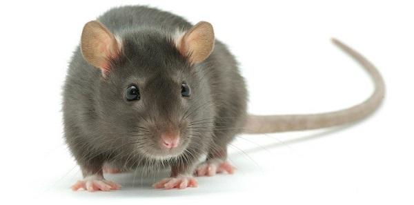 موش نروژی