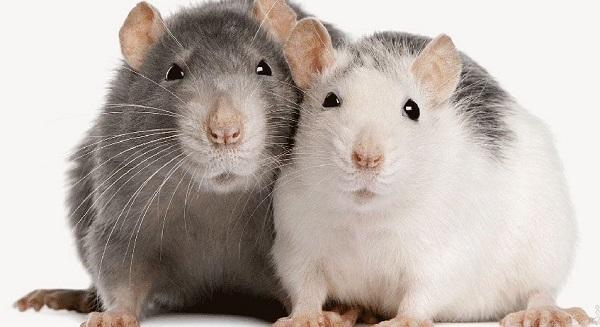 ویژگی های رفتاری موش